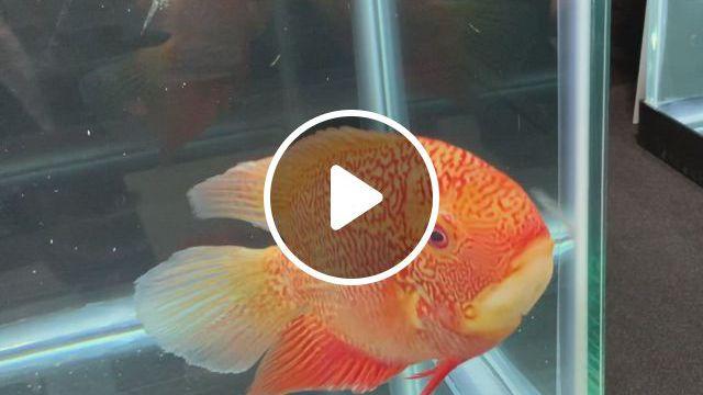 Cichlids - Video & GIFs | cichlid aquarium, aquarium fish, goldfish aquarium, goldfish tank, cichlid fish, aquarium design, aquarium ideas, colorful fish, tropical fish, beautiful fish