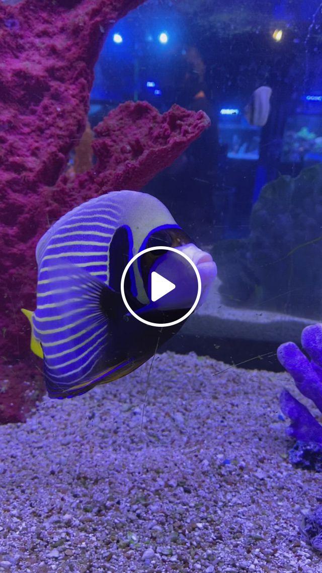 Emperor Angel Fish - Video & GIFs | saltwater tank, saltwater fish tanks, saltwater aquarium, fish tank design, one fish two fish, salt water fish, aquarium design, marine biology, angel fish