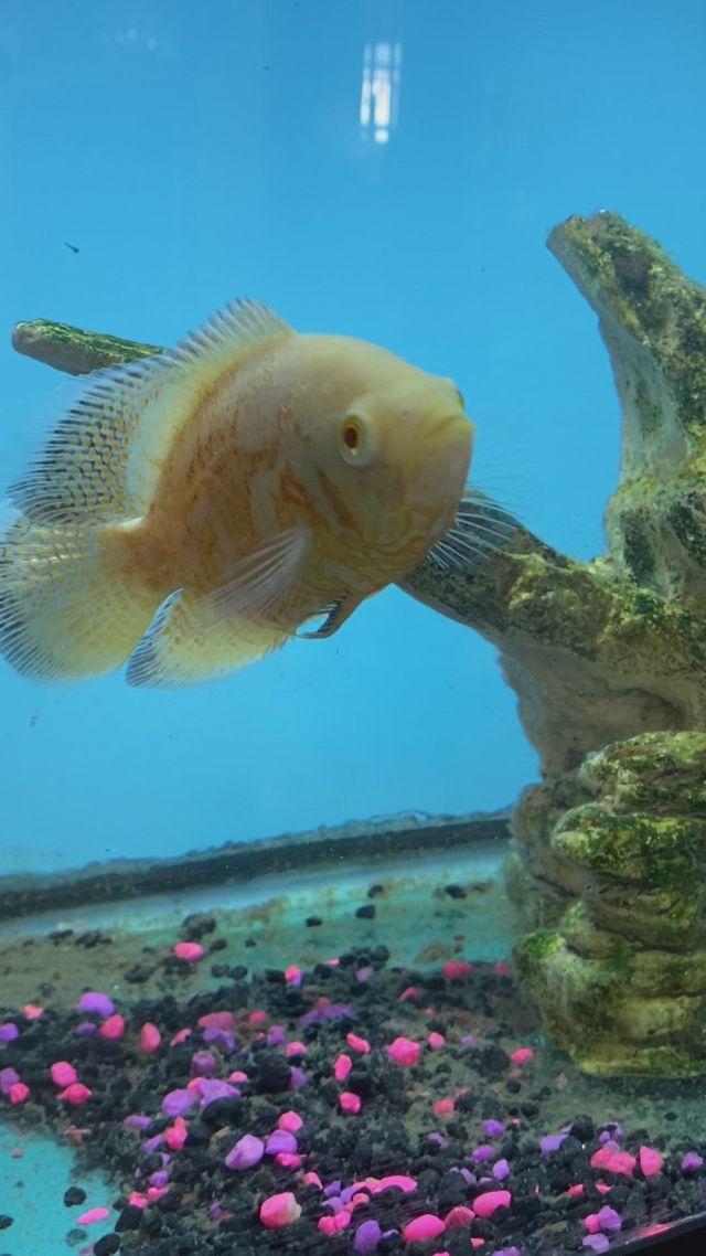 Fantastic Albino Oscar Fish - Video & GIFs   fish gif,oscar fish,tropical fish aquarium,all fish,durga maa,beautiful fish,exotic fish,cichlids,pisces