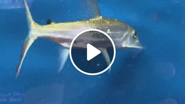 I Am A Baby - Video & GIFs | animasi, tiger fish, monster fishing, freshwater fish, tropical fish, aquarium fish, fish tank, animals and pets, videos, exotic fish
