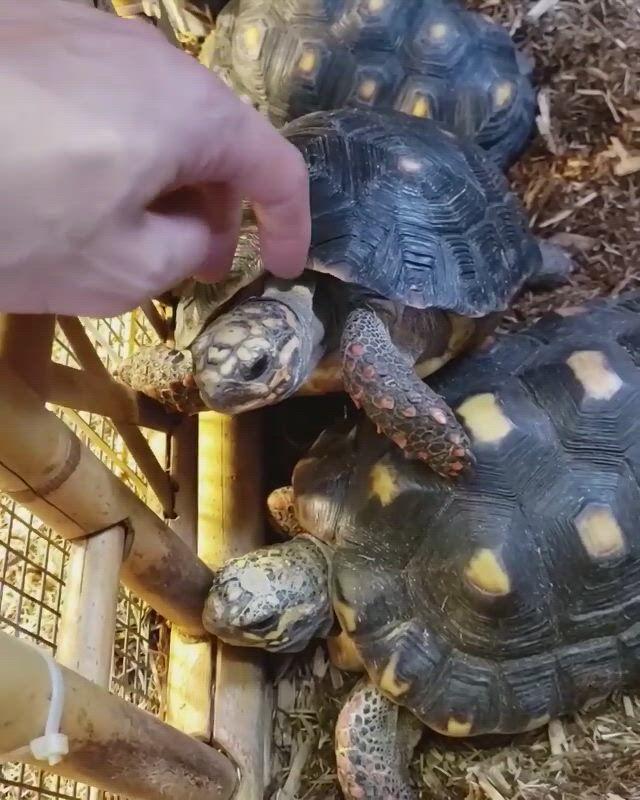 Redfooted Tortoise aka Chelonoidis carbonarius