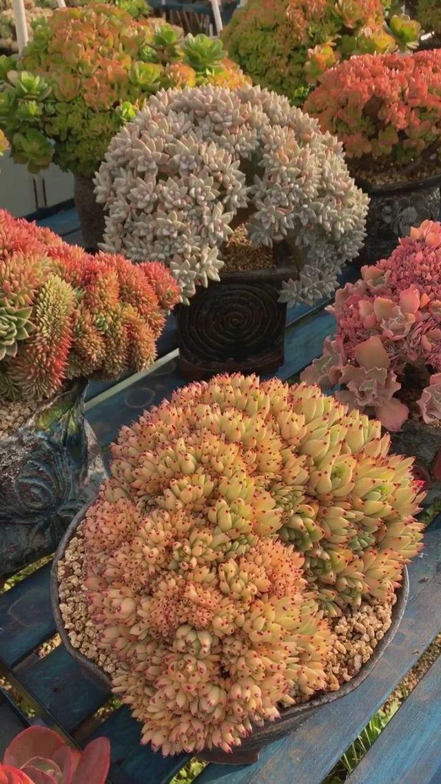 Succulent plants - Video & GIFs   planting succulents,succulents,luxury flower arrangement,succulent plants,flower ,luxury flowers,beauty full,flower arrangements,flora,beautiful places,gardens