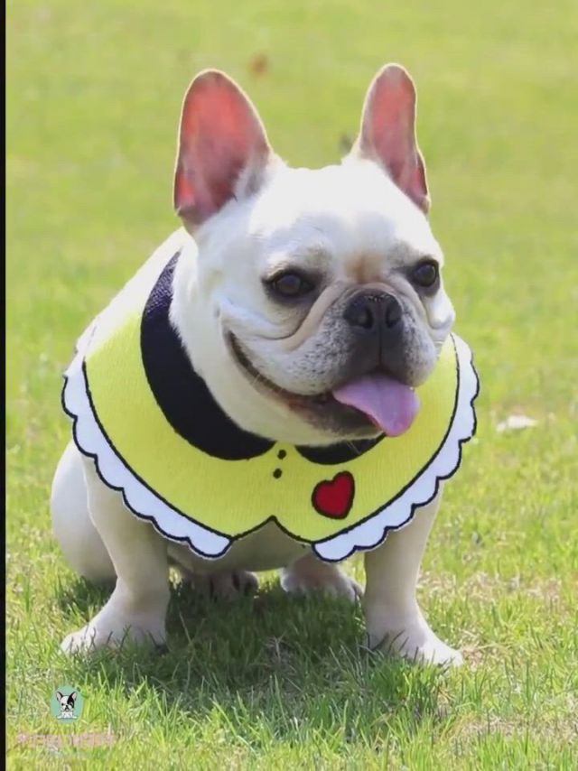 Cutest French Bulldog Outfits You Should Have - Video & GIFs | cute french bulldog,bulldog clothes,french bulldog clothes,cute dogs and puppies,baby dogs,bulldog puppies,doggies,french bulldogs,cute funny animals,cute baby animals