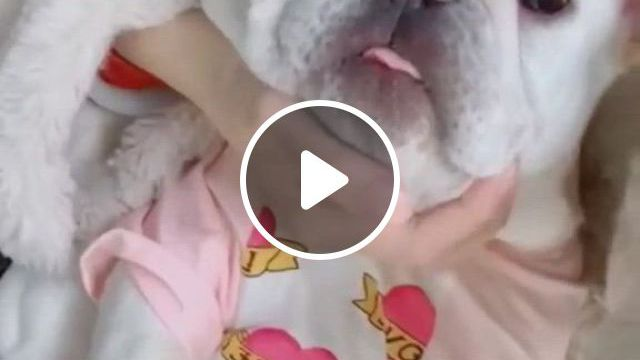 Dog Pink Shirt For Bulldogs - Video & GIFs | french bulldog clothes, cute french bulldog, french bulldog puppies, french bulldogs, cute funny puppy videos, cute animal videos, funny puppies, cute dog costumes, dog raincoat