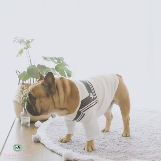 French tee shirt for dogs - Video & GIFs   blue french bulldog puppies,french bulldog for sale,french bulldog clothes,french bulldog art,bulldog puppies for sale,funny dogs,cute dogs,dog raincoat,cute little animals