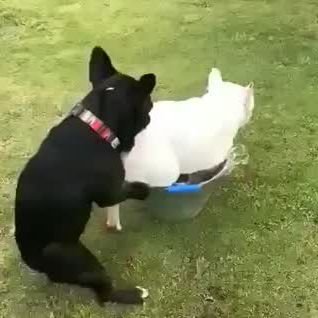 One puppy push out other puppy for playing - Video & GIFs | puppies,dogs,dogs and puppies,pets,nature,animals,naturaleza,animaux,animales,nature illustration,animal