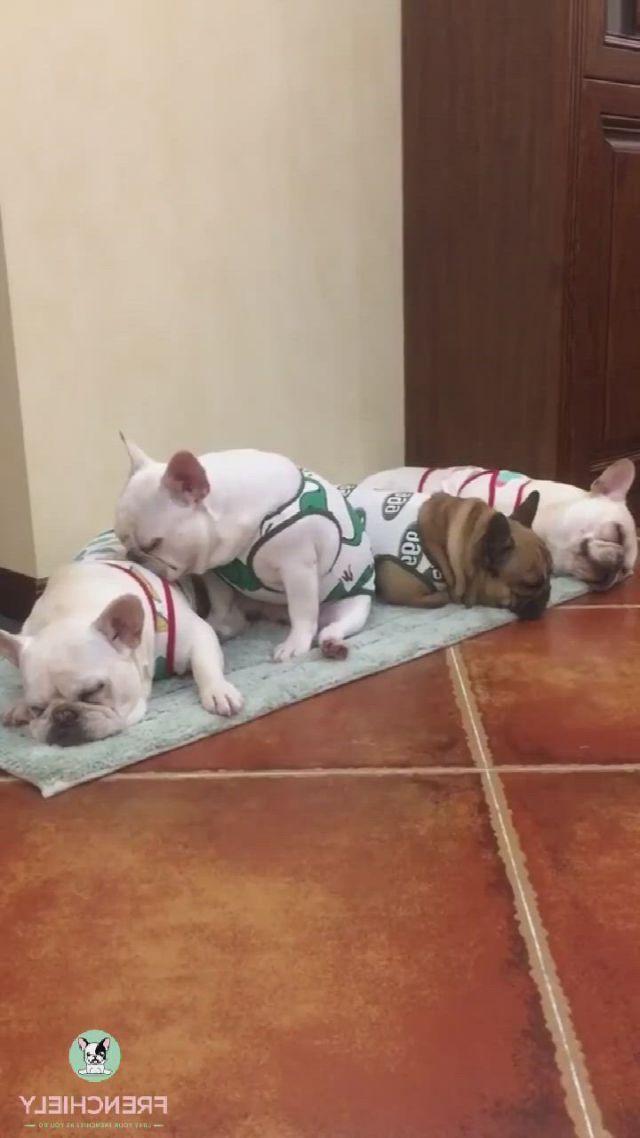 Sleeping French Bulldogs - Video & GIFs | bulldog clothes,dog shirt,funny animals,cute animals,diy dog costumes,dog raincoat,dog rooms,dog halloween,medium dogs,cute creatures