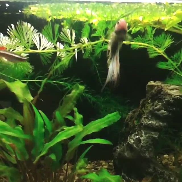 Awesome Thai Wild Betta Fish - Video & GIFs | betta tank mates,betta fish,betta tank,amano shrimp,ghost shrimp,cherry shrimp,fish list,nano tank,male male,moving water