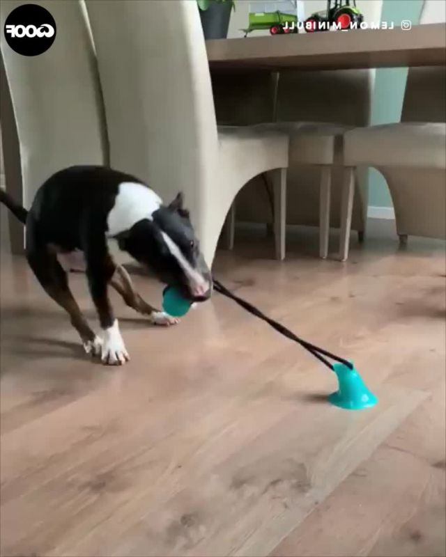 Bull Terrier Dog Plays With Suction Toy Stuck To Floor - Video & GIFs | dogs,dog toys,pets,funny dog memes,cat memes,funny dogs,perros bull terrier,bull terrier dog,miniature bull terrier,terriers,cute dogs and puppies,pet dogs