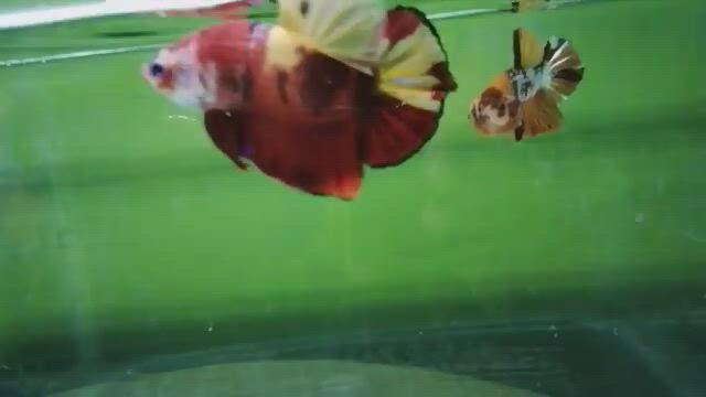 A Very Fast Moved Giant Multicolored Betta Fish