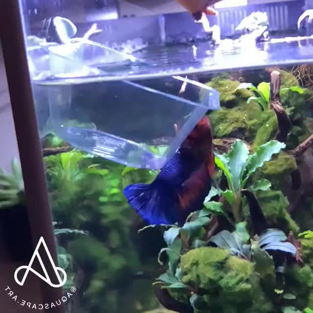 Cool Betta Fish Jumping To The Mini Bowl