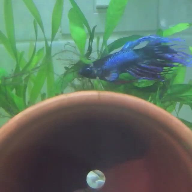 Does your Betta get THIS round