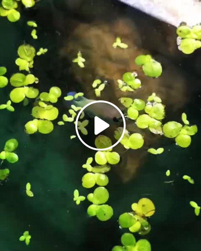 Female Betta's First Hunt - Video & GIFs | betta fish types, betta fish tank, freshwater aquarium, aquarium fish, one fish two fish, cool fish, siamese fighting fish, nature gif, fishing videos