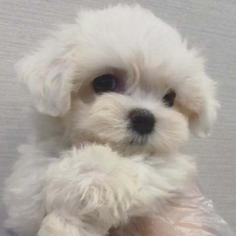 Hello I'm maltese puppy roy