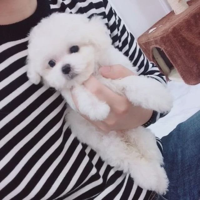 Hi cindy So cute - Video & GIFs | bichon frise,teacup puppies,dogs,teacup bichon frise,bichon frise for sale,puppies for sale,cute puppies,cute dogs,cute babies,puppy party,cute baby animals