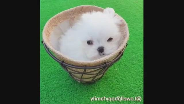 Lovely teacup maltese puppy