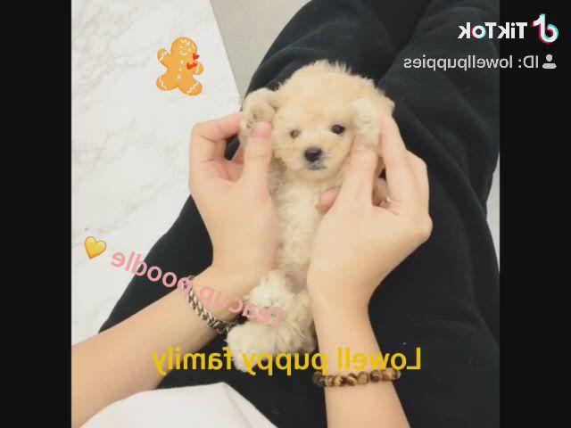 Lovelycream teacup poodle