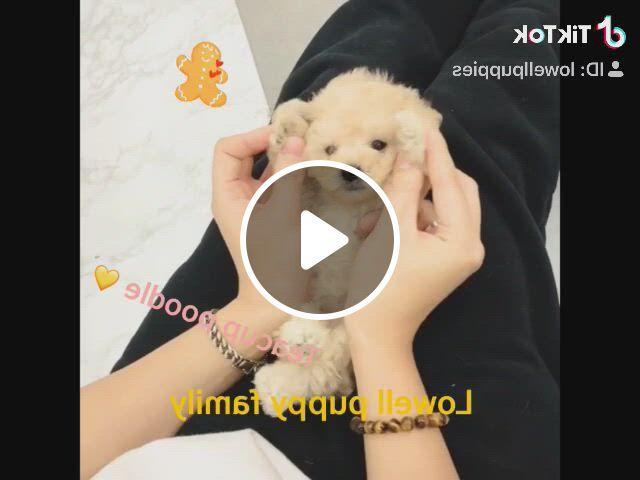 Lovelycream Teacup Poodle - Video & GIFs   toy poodle puppies, teacup puppies, puppies, teacup puppies for sale, teacup pomeranian, tea cup poodle, kinds of dogs, bichon frise, cute baby animals, shih tzu, pugs