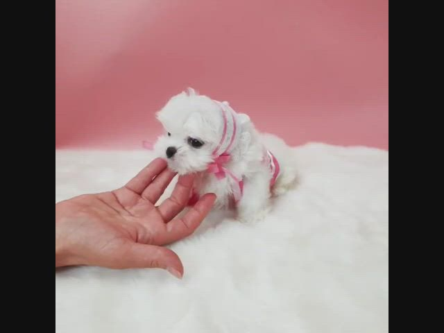Lowell puppy family teacup maltese - Video & GIFs   maltese puppy,puppies,teacup puppies,toy poodle puppies,teacup chihuahua puppies,cute baby puppies,chihuahua puppies for sale,teacup puppies for sale,super cute puppies,teacup maltese,tiny puppies,maltese dogs