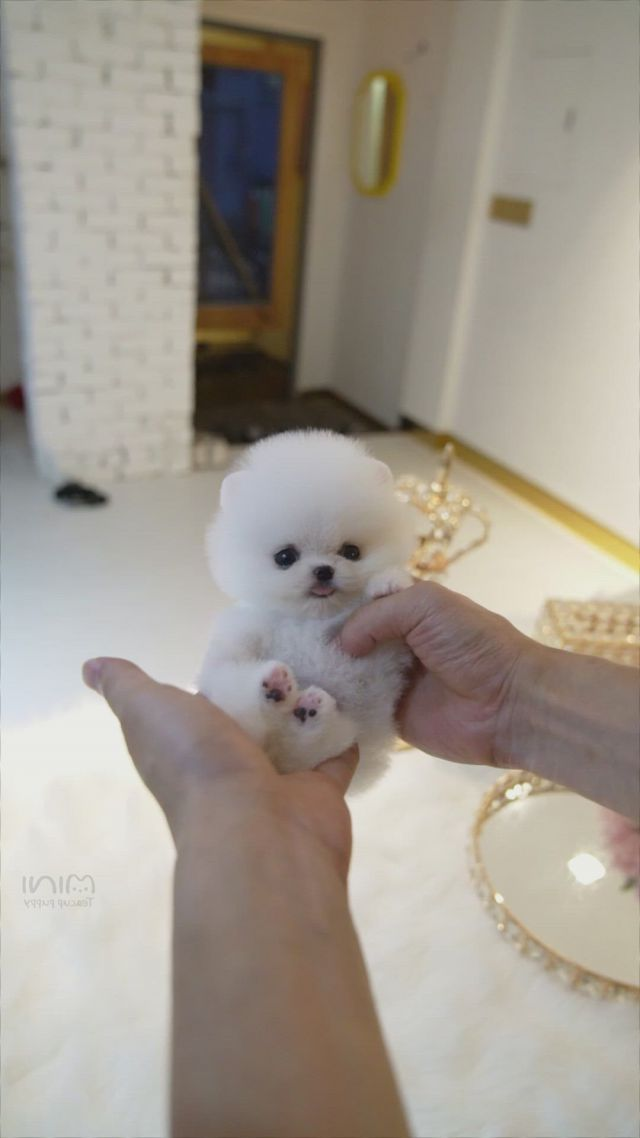 Micro teacup white pomeranian - Video & GIFs   micro teacup puppies,teacup puppies,cute teacup puppies,teddy bear pomeranian,micro teacup pomeranian,white pomeranian puppies,teddy bear puppies,white puppies,maltese dogs,cute little animals,cute funny animals