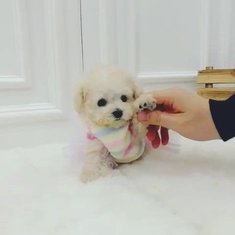 Mini poodle lovely - Video & GIFs   teacup puppies,toy poodle puppies,teacup poodle puppies,mini poodles for sale,teacup poodles for sale,micro teacup puppies,maltipoo puppies for sale,poodle puppies for sale,tea cup poodle,teacup yorkie,kittens and puppies