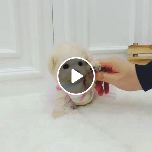Mini Poodle Lovely - Video & GIFs   teacup puppies, toy poodle puppies, teacup poodle puppies, mini poodles for sale, teacup poodles for sale, micro teacup puppies, maltipoo puppies for sale, poodle puppies for sale, tea cup poodle, teacup yorkie, kittens and puppies