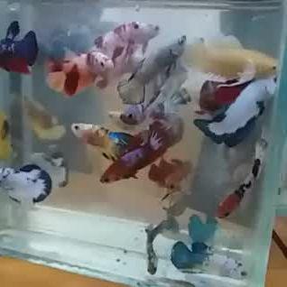 The Colorful Betta Tank - Video & GIFs | fish aquarium decorations,betta fish tattoo,tropical fish aquarium,saltwater aquarium fish,betta aquarium,tropical fish tanks,betta tank,aquariums,tropical freshwater fish,freshwater aquarium