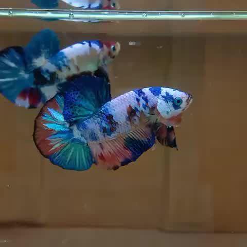 This Over Halfmoon Plakat Tail Multicolored Betta Fish Is So Cool - Video & GIFs   koi betta,tropical fish aquarium,aquarium fish tank,halfmoon betta,planted aquarium,pretty fish,cool fish,beautiful fish,betta fish types
