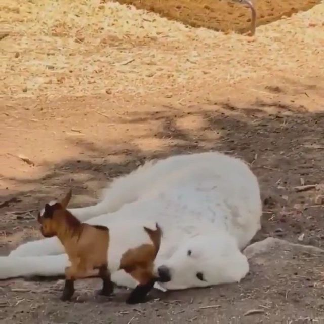 Playing on the dog - Video & GIFs   cute funny animals,unlikely animal friends,cute animals,cute animal ,cute baby animals,funny dogs,poor dog,dog eyes