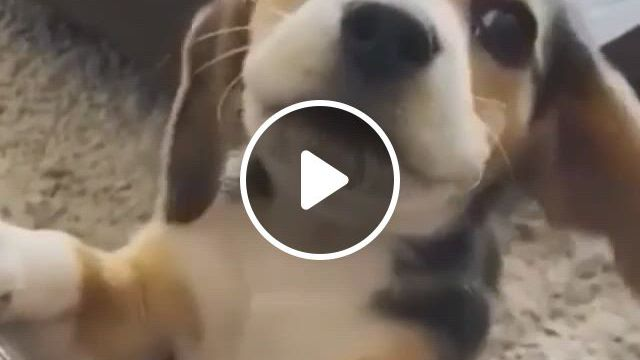 Play With Me - Video & GIFs   cute funny animals, animals beautiful, funny animal , cute little animals, funny dogs, cute dogs, epic gif, dogs , dog boarding, beagles