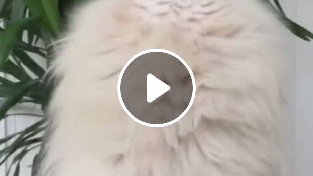 White Fluffy Buddy - Video & GIFs | cute animals, cute dogs, cute puppies, random things, angels, content, funny, nature
