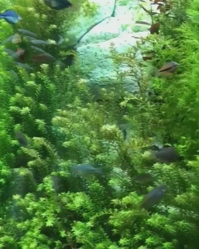 Fish for 20 gallon tank - Video & GIFs | aquarium fish,aquarium landscape,freshwater aquarium,tropical fish aquarium,aquarium setup,betta fish tank,aquarium design,aquarium fish tank,planted aquarium,fish tanks,denver aquarium,aquarium architecture