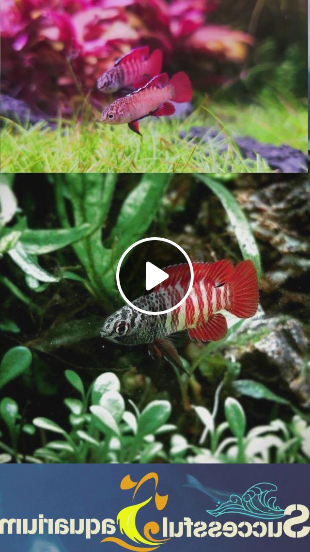 Loving This Pair Of Black Tiger Darios Best Fish For 55 Gallon Tank - Video & GIFs | fresh water fish tank, freshwater aquarium, 55 gallon tank, ghost shrimp, plecostomus, different fish, all fish, aquarium design, animal room, black tigers, types of fish