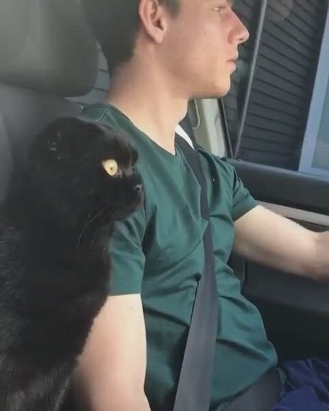 Learning to drive - Video & GIFs | animais,cabelo e beleza,gatinhos,learning to drive,animal antics,bad mood,my animal,cat lovers,dog cat,kitty,funny,instagram
