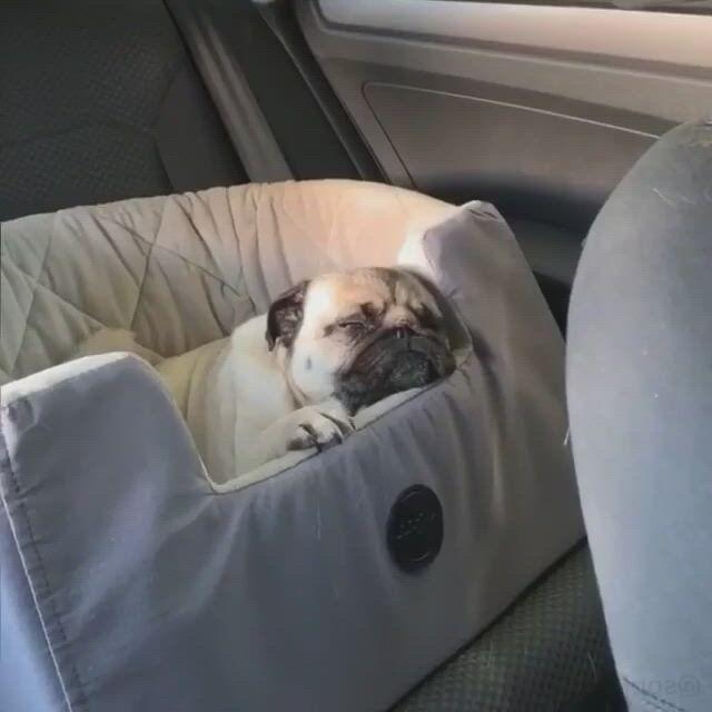 Monday pug mood