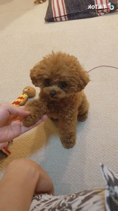 Adorable poodle - Video & GIFs   cute baby dogs,poodle puppy,cute animals images,teddy bear poodle,yorkie poodle,teddy bear puppies,baby puppies,poodles,cute funny animals,cute baby animals