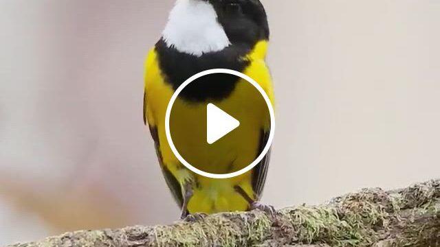 Beautiful Bird - Video & GIFs | passaros bonitos, passaros exoticos, passaros silvestres, funny birds, cute birds, pretty birds, beautiful birds, animals beautiful, wild animals , animals and pets, baby animals, funny animals