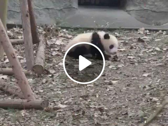 Funny Panda - Video & GIFs | panda love, panda, animals, panda gif, panda bear, otters, bears, medicine, cute animals, kawaii, mood