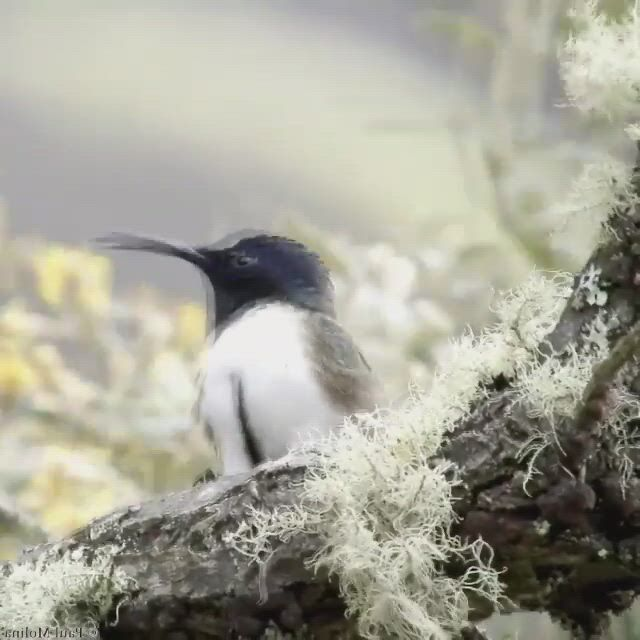 Hummingbird - Video & GIFs | bird gif,most beautiful birds,pet birds,nature gif,birds eye view,nature animals,amazing nature,funny images,pet lovers