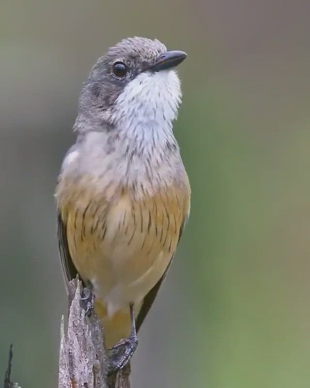 Small bird - Video & GIFs | beautiful birds,australian wildlife,animals beautiful,most beautiful birds,pretty birds,animals and pets,cute animals,bird gif