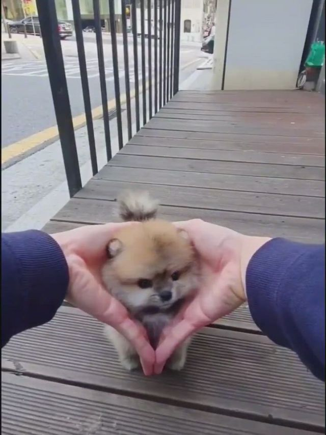 Cute dog puppies - Video & GIFs   cute dogs,super cute puppies,pretty dogs,toy dog breeds,small dog breeds,small dogs,cut animals,cute baby animals,spitz type dogs,malamute puppies,cutest dogs