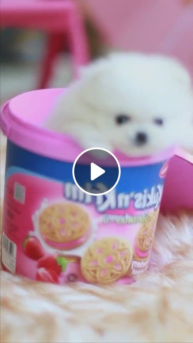 Top The Most Beautiful And Cutest Dogs In The World - Video & GIFs | shiba, dachshunds, pomeranian, four legged, young people, dog days, poodle, puppy love, hot dogs