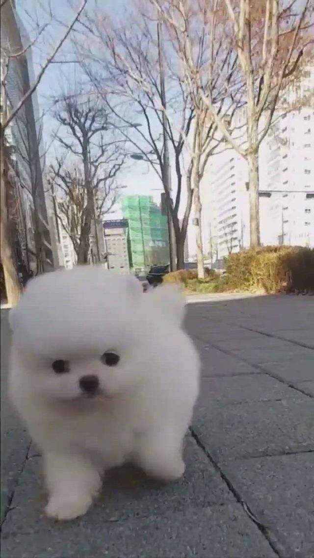 Top the most beautiful and cutest dogs in the world - Video & GIFs | dachshunds,schnauzer dogs,beagle dog,dachshund dog,unique dog breeds,cute dogs breeds,samoyed dogs,pomeranian puppy,alaska dog