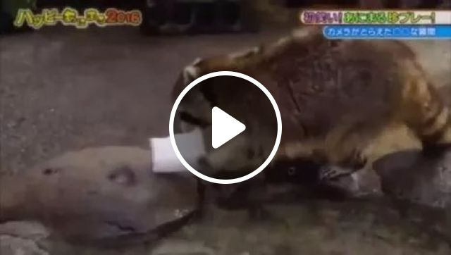 Wat the h*ll?, animals, Raccoon, Ice Cream, Melted Ice Cream, Zoo