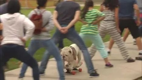 Bulldog skateboards through legs of 30 people