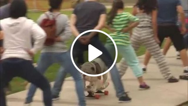 Bulldog skateboards through legs of 30 people, Animals, bulldog, skateboard, funny dog, sport