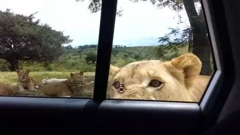 Lions are smarter than we think