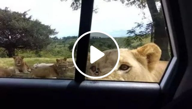 Lions are smarter than we think, Lion, Car Door, Wild Animals, Danger, Nature