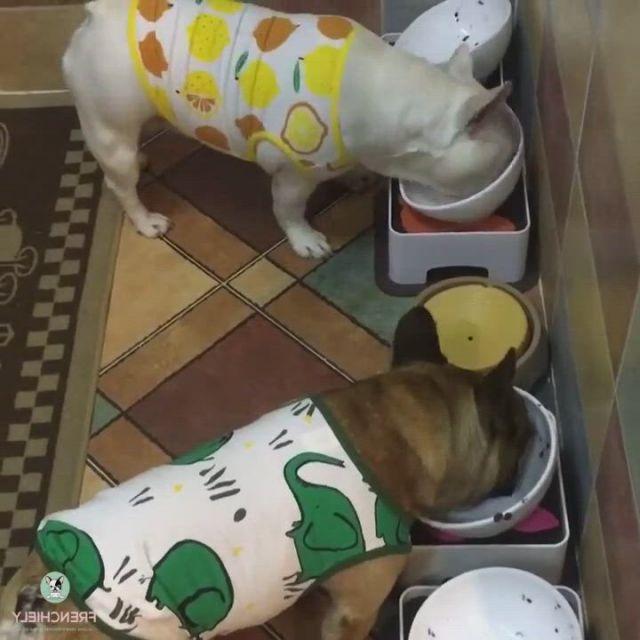 Best Dog Shirts Tanks for French Bully in - Video & GIFs   perros bulldog frances,perros bulldog,bulldog,small dog clothes,pet clothes,french bulldog clothes,dog raincoat,lemon print,dog costumes,medium dogs,dog dresses,dog shirt