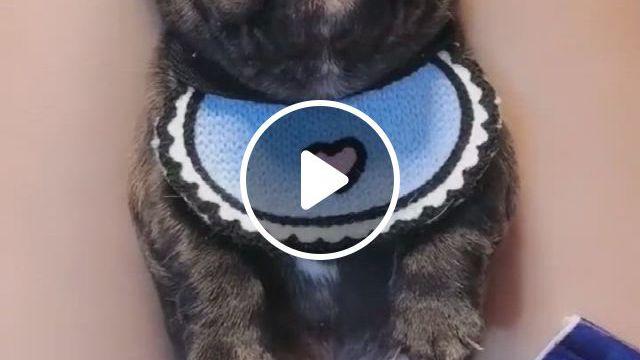 Cutest Puppy French Bulldog Bandana Scarf - Video & GIFs | cute bulldog puppies, cute little puppies, cute dogs breeds, cute bulldogs, cute cats and dogs, cute dogs and puppies, baby dogs, funny puppies, doggies, baby french bulldog